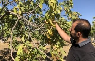 Aydın'da incir üreticileri geçen yıla göre...