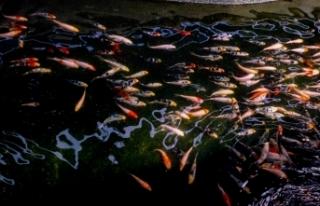 Antalya'da yetiştirilen Japon balıkları birçok...