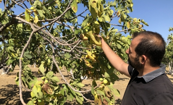 Aydın'da incir üreticileri geçen yıla göre rekoltede yüzde 30 düşüş bekliyor