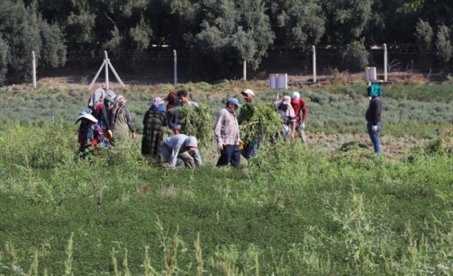 Deneme amaçlı ekilen tıbbi ve aromatik bitkilerin hasadı yapıldı